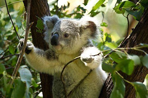 A koala in Australia