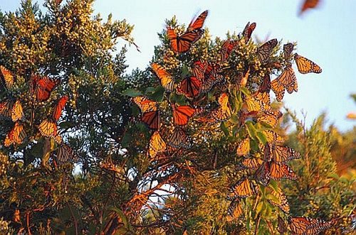 Monarch butterfly migration near Mexico City