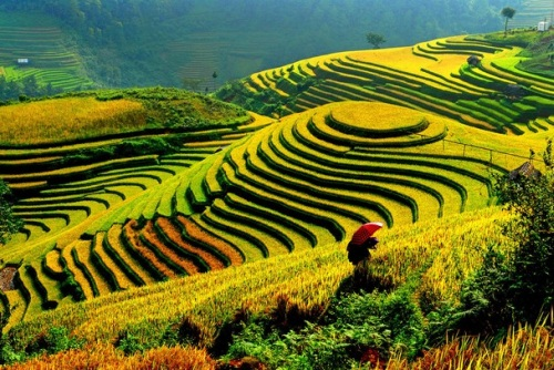 The terraced rice fields of Vietnam